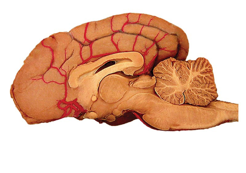 Anatomy of dog brain