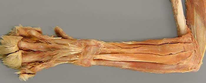 anconeus muscle cadaver wwwpixsharkcom images