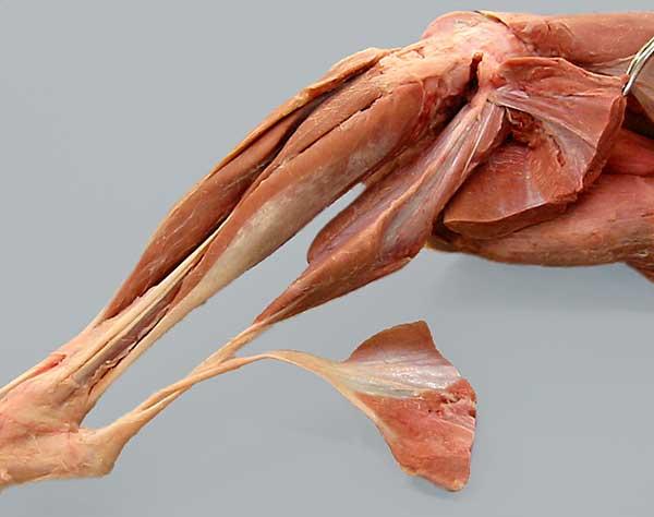 Carnivore Anatomy Lab 7 Introduction