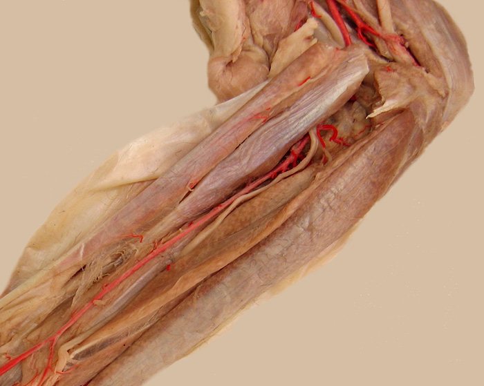 Carnivore Anatomy Lab 14 Introduction