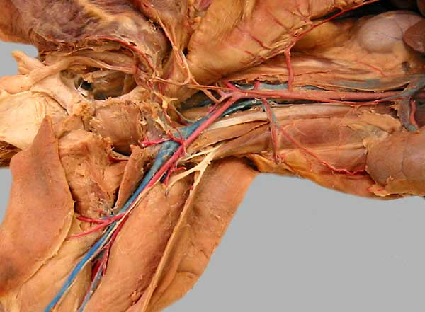 similiar main veins on dogs keywords, Cephalic Vein