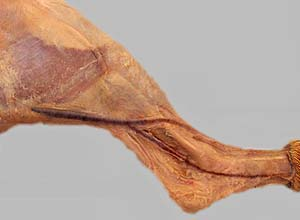 carnivore anatomy lab 20 introduction, Cephalic Vein