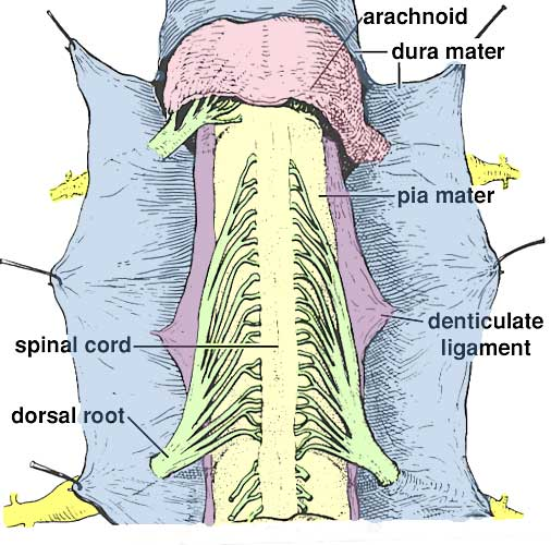 Denticulate Ligaments The denticulate ligaments, also known as the ligamentum denticulatum, are connective tissues attached to the spinal cord within the vertebral the second lower part of the filum terminale is called the filum terminale externum, and it ends at its attachment point on the first segment of the coccyx. vanat cvm umn edu