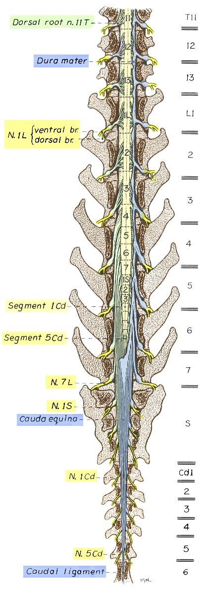 Lab 2 Spinal Cord Gross Anatomy