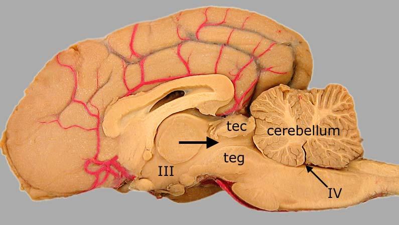 Canine brain anatomy