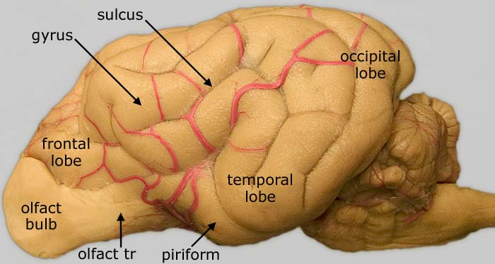 Lab 3 Brain Gross Anatomy Telencephalon