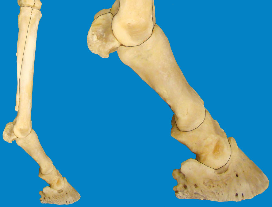 Ungulate Anatomy Lab 3 Thoracic Limb