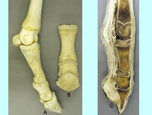 Distal limb anatomy horse